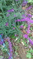 空き地にもこの紫がおしゃれです