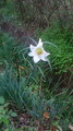 見い付けた暖冬喜ぶ百合の花