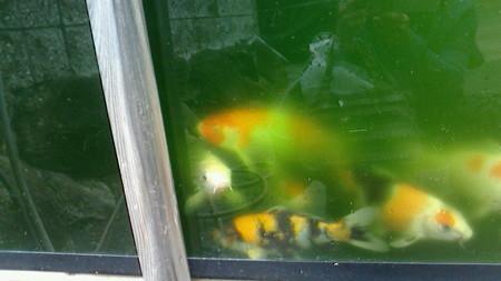 水槽を覗いて鯉と目を合わす
