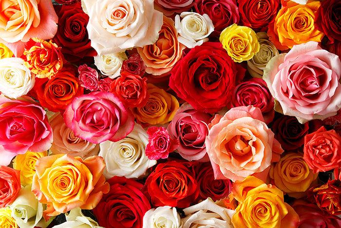 幸せを連鎖させる「アフリカローズ」 バラとの出会いで咲かせた新たな ...