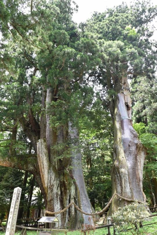 日本一の大杉