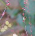 [SEL30F3.5Macro][カメムシ][ミズヒキ]とあるカメムシの幼虫