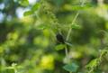 [SEL30F3.5Macro][ミント][コガネムシ]アップルミントとコアオハナムグリ