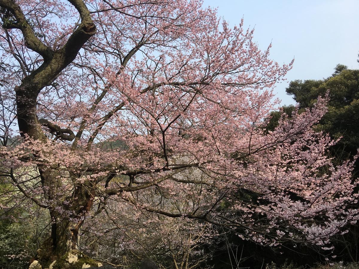 世間桜「女桜」
