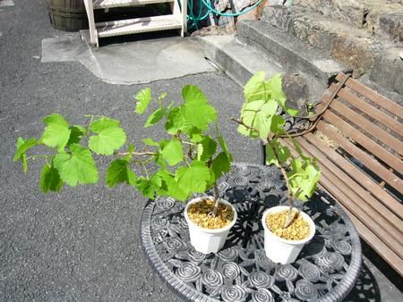 河内紫葡萄