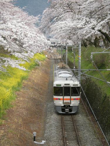 桜のトンネルの中を往く