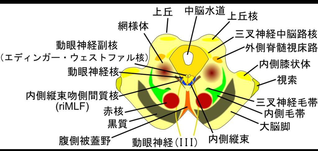 中脳の断面図