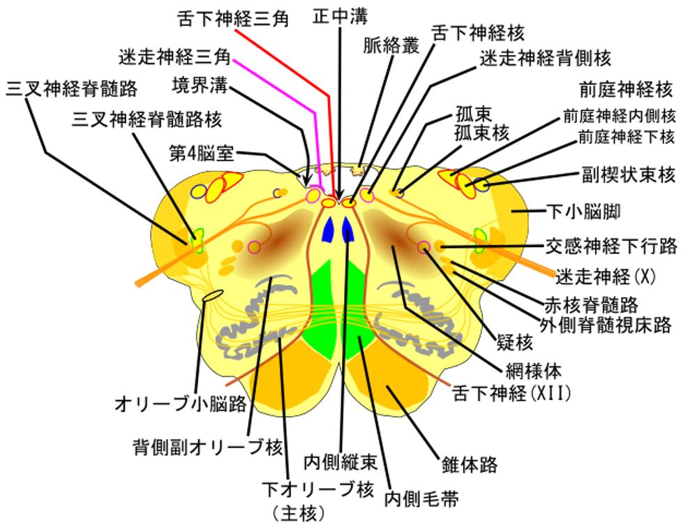 延髄の断面図