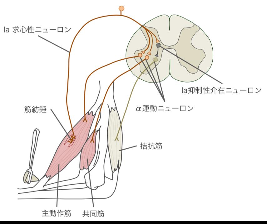 伸張反射の図解