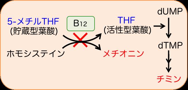 メチオニンシンターゼの補酵素