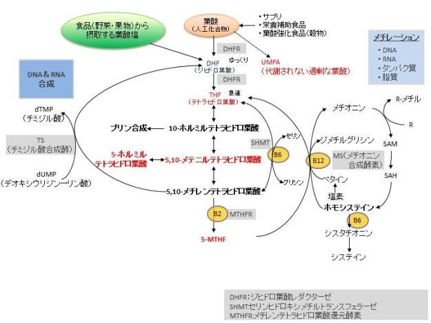 葉酸代謝経路
