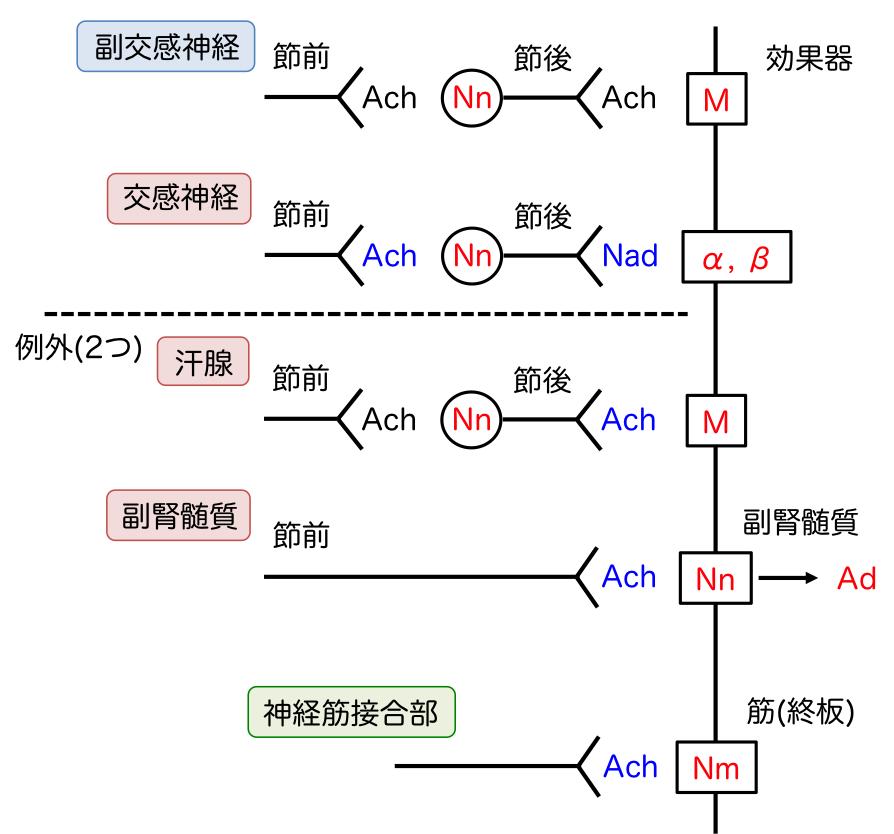 アセチルコリン受容体