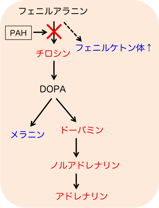 フェニルケトン尿症の機序