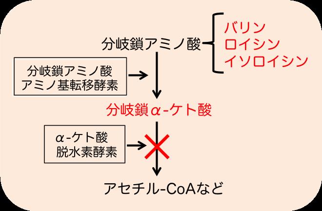 メープルシロップ尿症の機序
