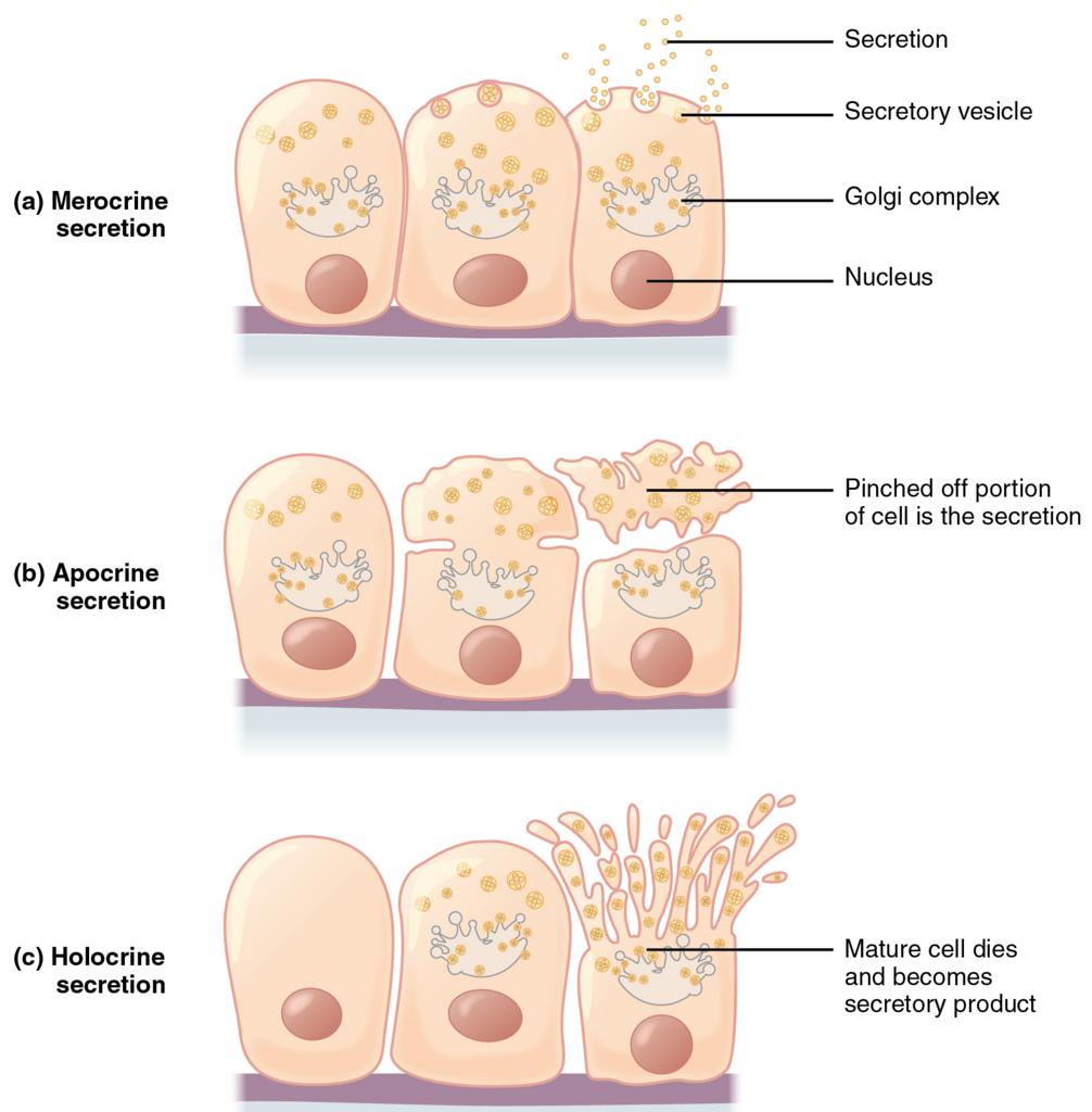 分泌様式の分類