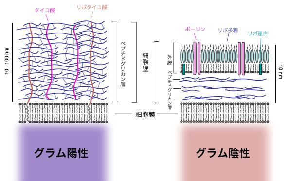 グラム陽性と陰性細菌の細胞壁