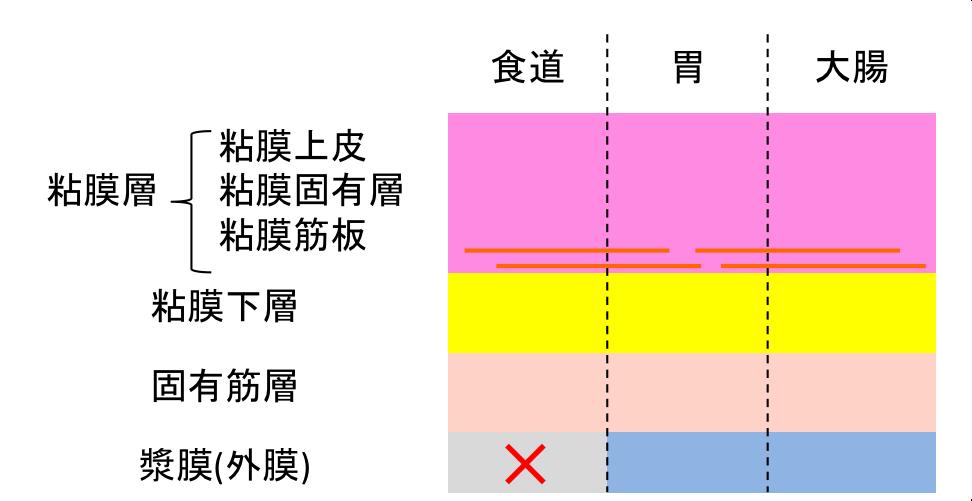 消化管壁の構造