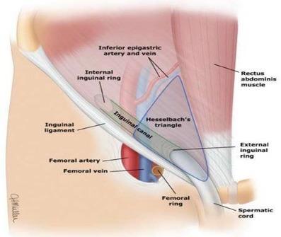 鼠径部の解剖