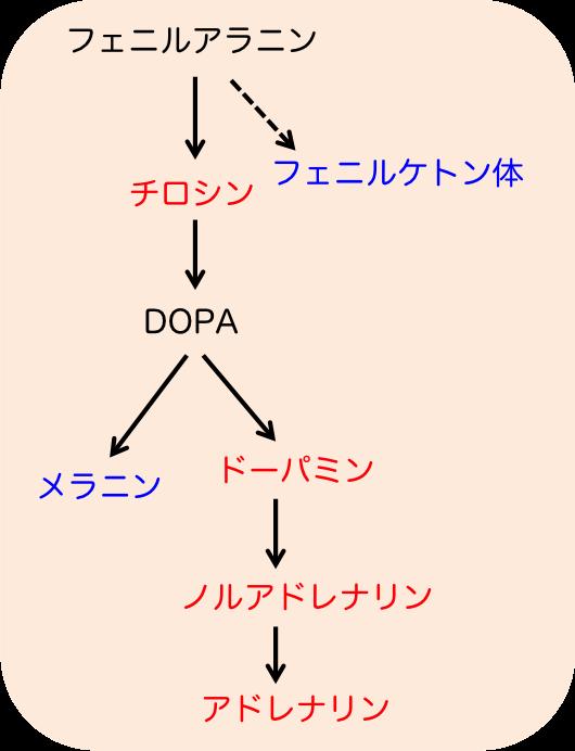 カテコラミン代謝経路