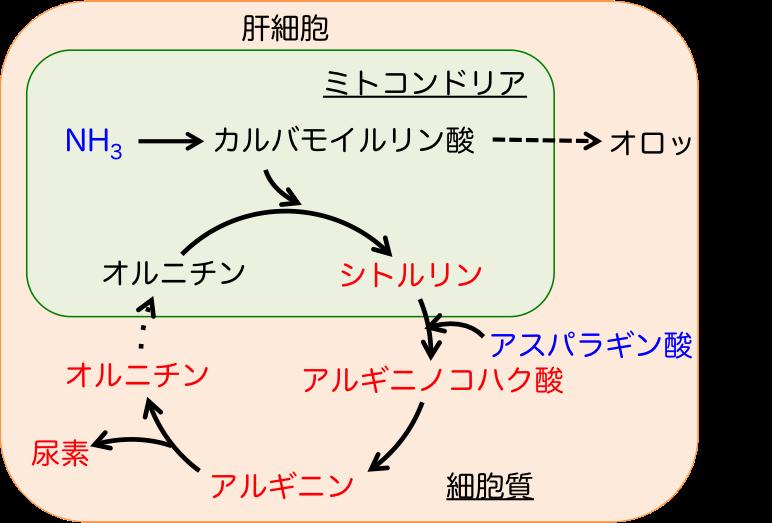 オルニチン回路の図