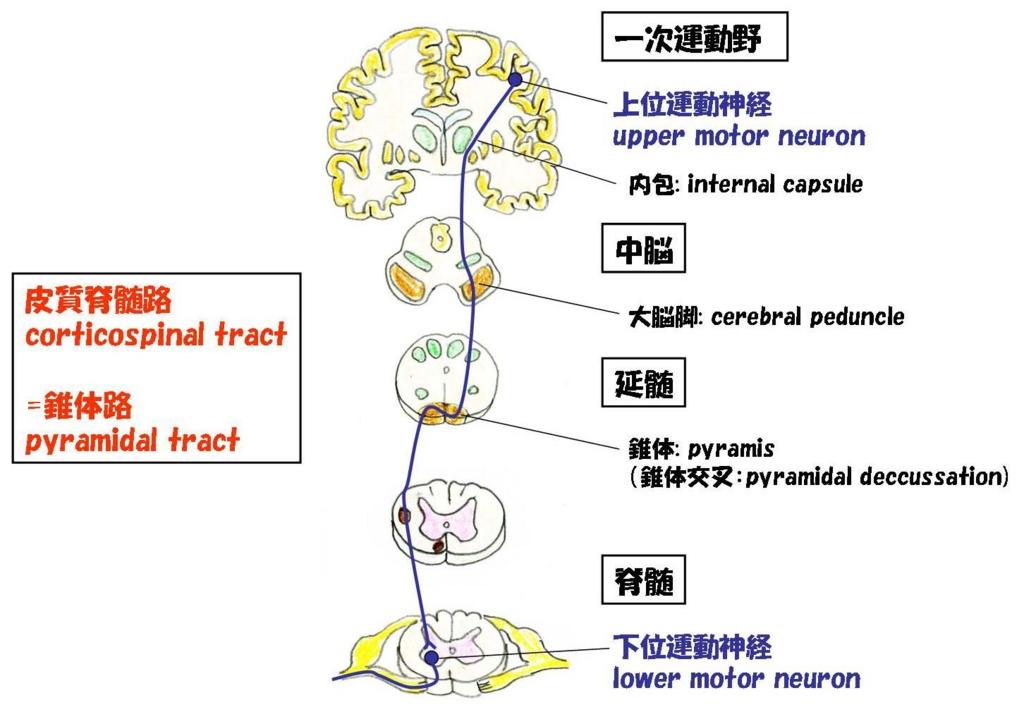 皮質脊髄路・錐体路