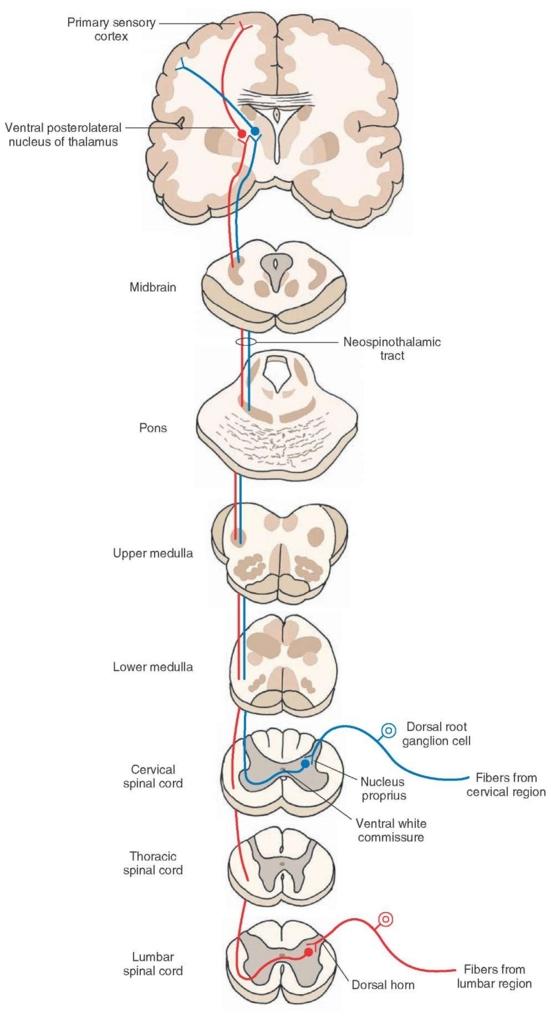 外側・前脊髄視床路
