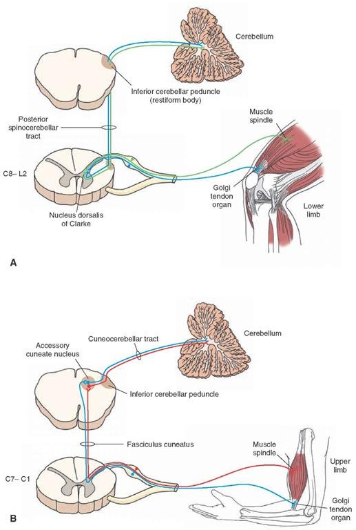 脊髄小脳路
