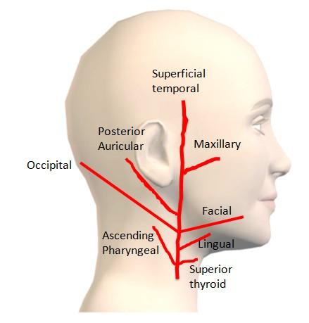 外頚動脈の分枝