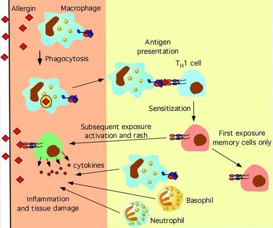 4型アレルギーの機序