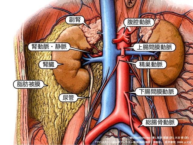 腹部大動脈の語呂