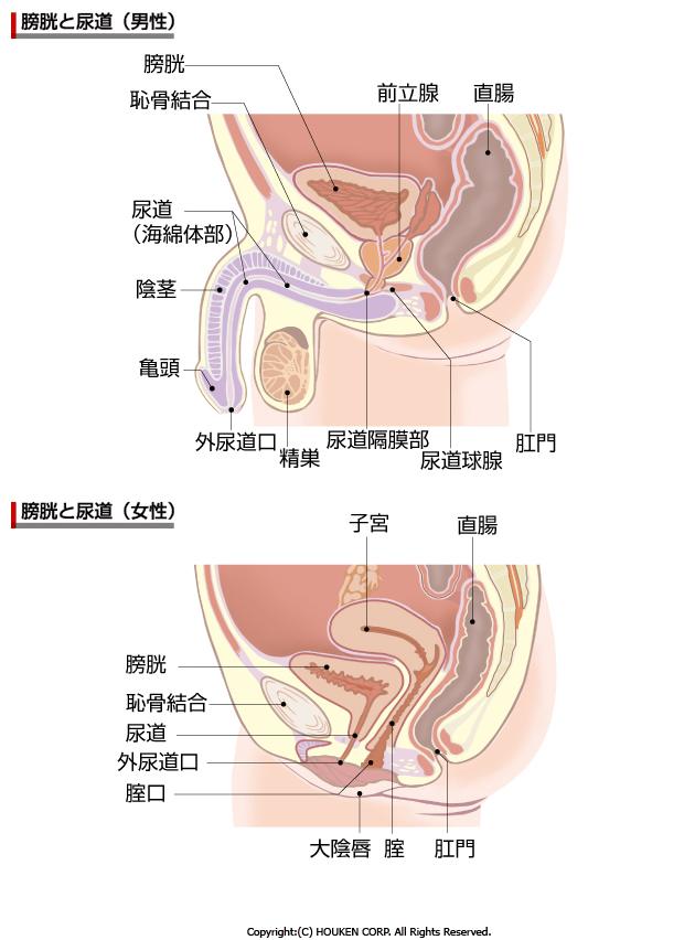 女性の膀胱炎