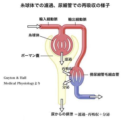 糸球体濾過量