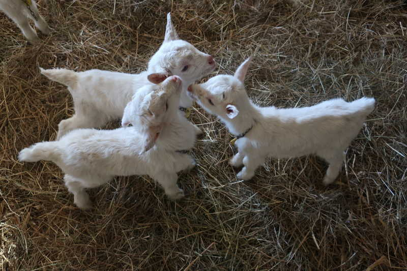 産まれたての子山羊
