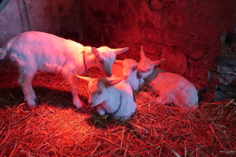 産まれて1ヶ月の山羊