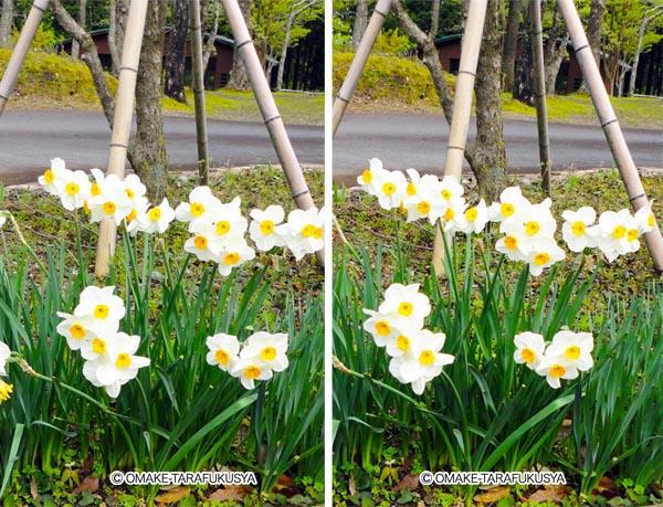 花壇の水仙を立体視
