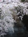 ズザザザザー!川になだれ込むように…。水に浮かぶ花びらもまた一興