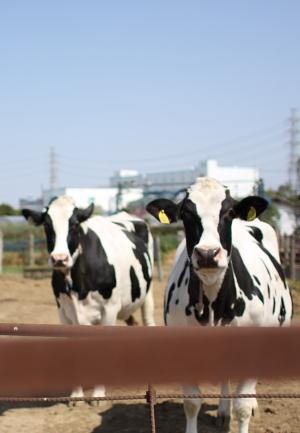 伊勢原市の牧場の牛