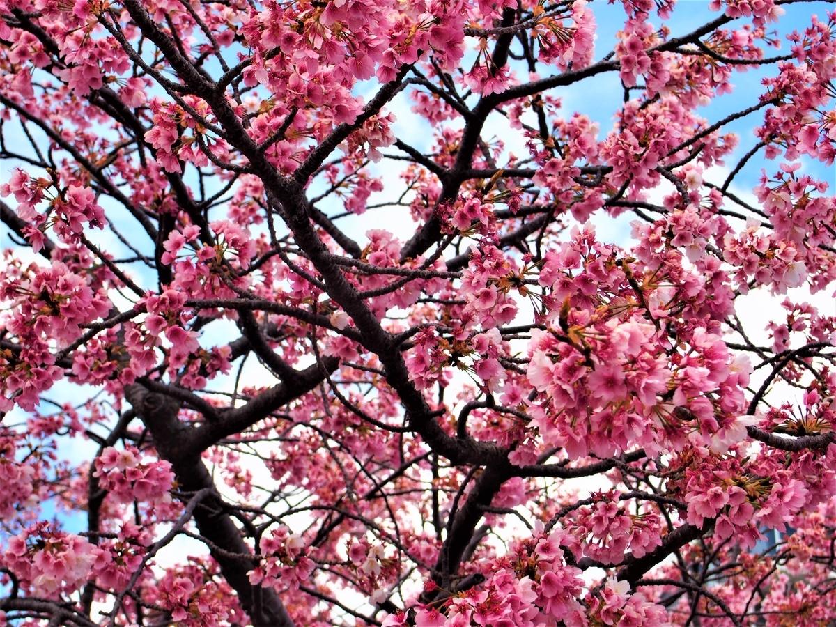 熱海で咲く早咲きの桜