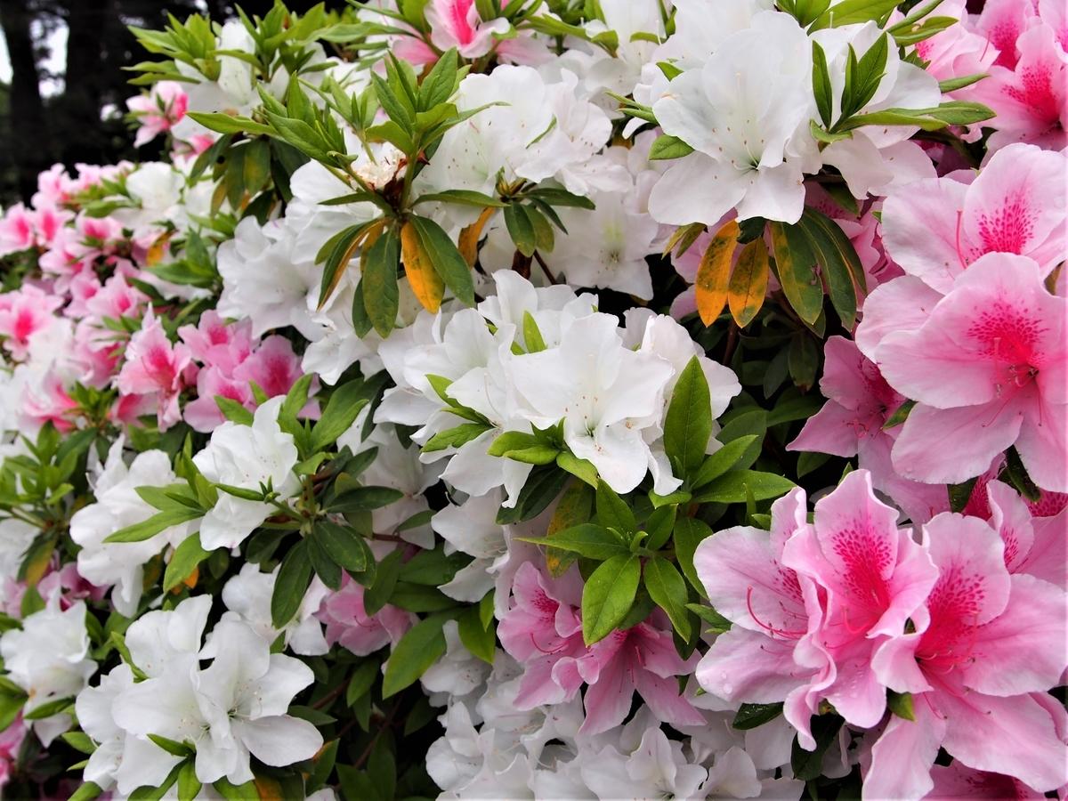 小田原城に咲く2色のつつじ