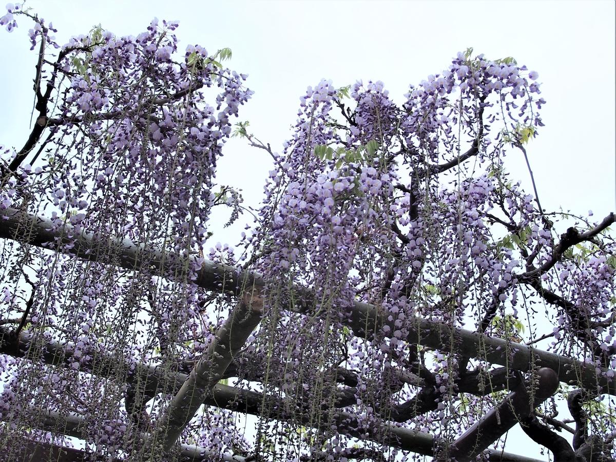 小田原市天然記念物、御感の藤