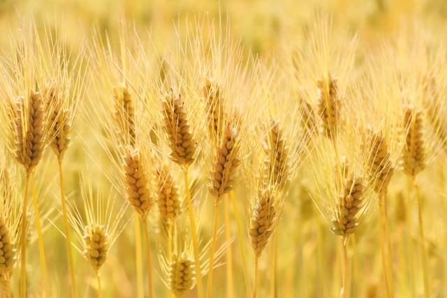 黄金色の小麦畑