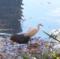 日比谷公園のコサギ 2012年12月13日byダー&メイ