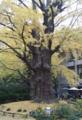 日比谷公園の首賭けイチョウ(2013.11.25)
