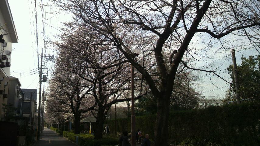 2014年3月29日通勤途中の桜並木06