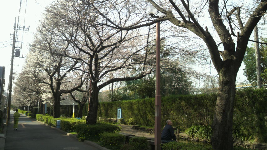 2014年3月29日通勤途中の桜並木04