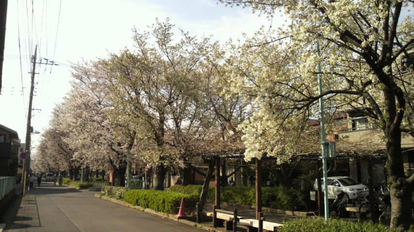 2014年3月29日通勤途中の桜並木01