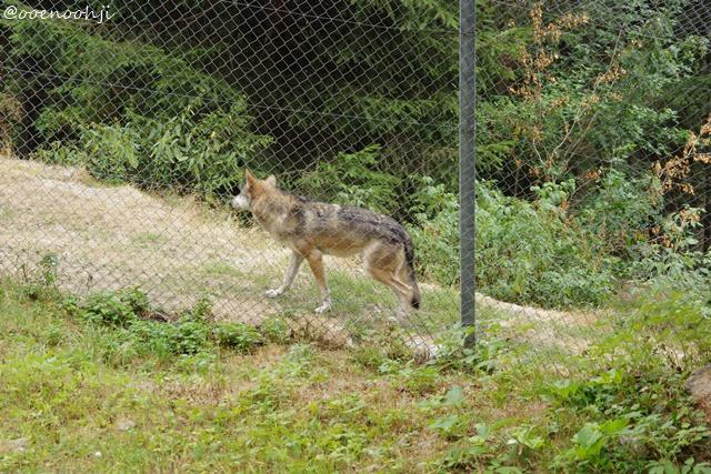 wolf-alpha-animal-park