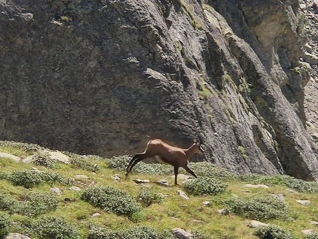 南仏・メルカントゥール国立公園で見たシャモワ(山岳地帯に住む野生ヤギ)