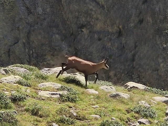 トレッキング(登山)したときに出会った野生ヤギ(chamois)