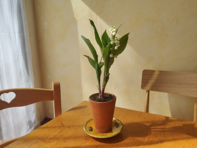 フランスの勤労感謝の日(メーデー)で送り合うスズランの花